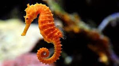 Image result for seahorses